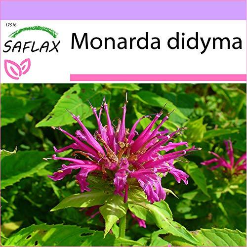 SAFLAX - Bergamotto - 20 semi - Monarda didyma