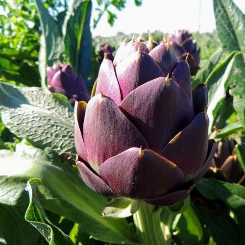 30 semi - carciofo violetto Romagna Vegetable Seeds (Cynara Scolymus)