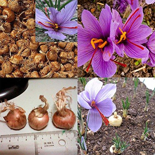 Go Garden, 8 bulbi di zafferano di Crocus Sativus, semi per fiori facili da coltivare in casa e in giardino