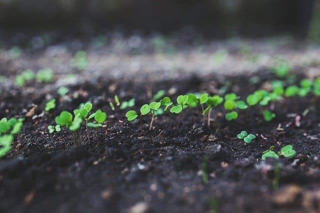 Come coltivare la Rucola