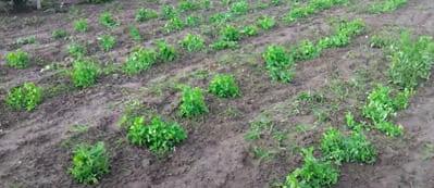 La coltivazione dei piselli