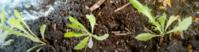 Come coltivare la cicoria