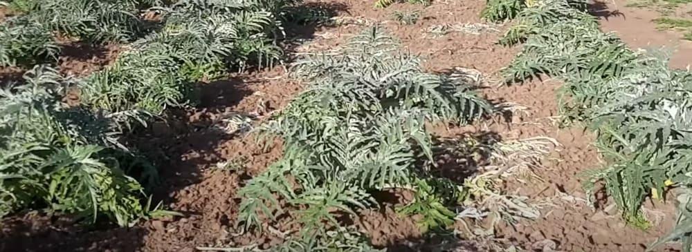 coltivare-carciofi